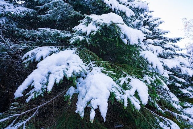 Fantastiques branches vertes et moelleuses d'arbres de noël couvertes de neige blanche dans la forêt d'épinettes des carpates