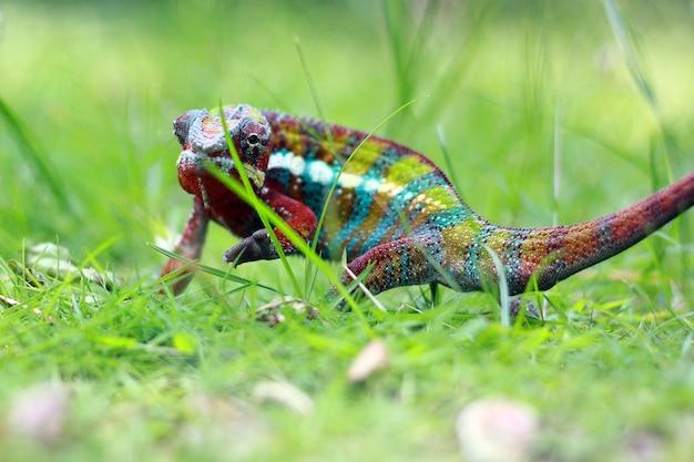 Fantôme caméléon marchant sur l'herbe
