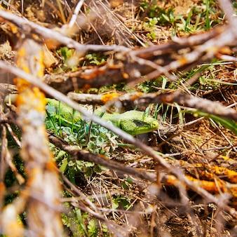 Fardacho lézard vert dans les branches espagne