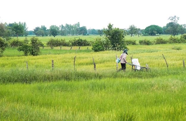 Farmer in agriculture champ inondé de plants de riz
