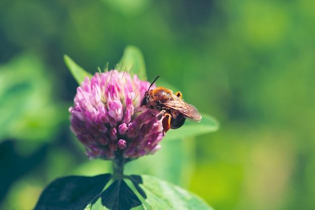 Fat bee trouve le nectar dans le trèfle rose de près.