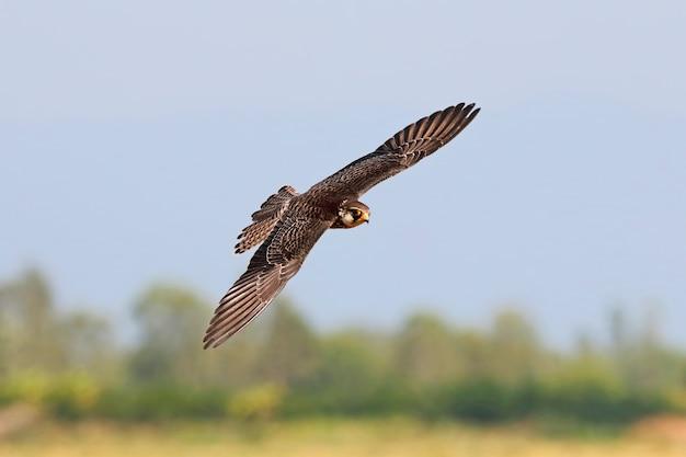 Faucon de l'amour falco amurensis beaux oiseaux de thaïlande oiseaux qui volent