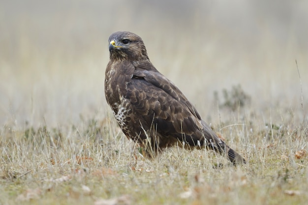 Faucon brun dans un champ herbeux