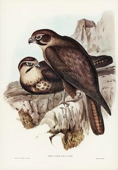 Faucon brun (ieracidea berigora) illustré par elizabeth gould