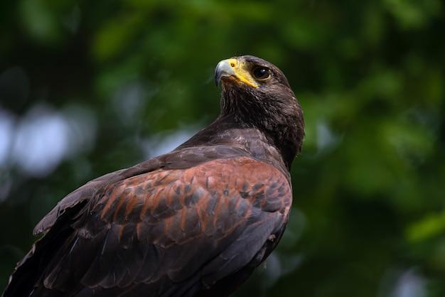 Faucon brun regardant sa proie.