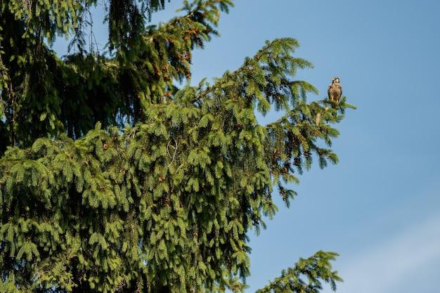 Faucon crécerelle. falco tinnunculus petits oiseaux de proie