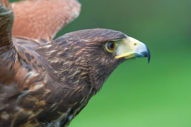 Le faucon de harris (parabuteo unicintus)