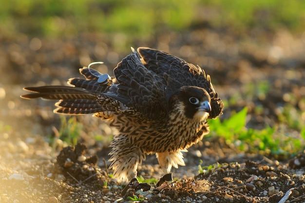 Le faucon pèlerin secoue. falco peregrinus.