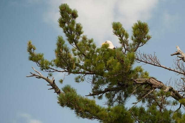 Faucon perché dans les branches d'un arbre au lac des bois, en ontario