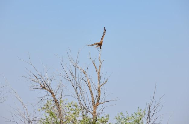 Faucon volant haut dans le ciel bleu