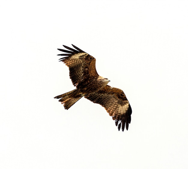 Faucon voler au-dessus isoler blanc