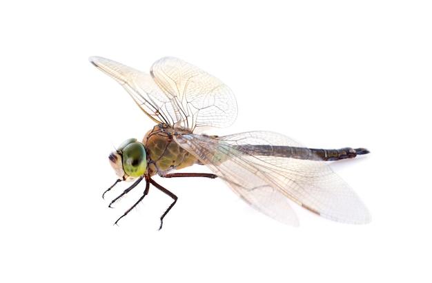 Fauconnier libellule