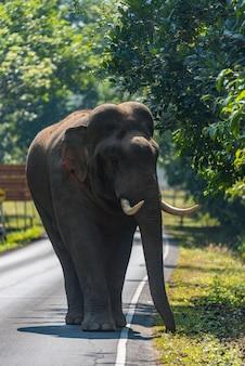 Faune, éléphant d'asie marchant sur la route du parc national de khao yai, thaïlande