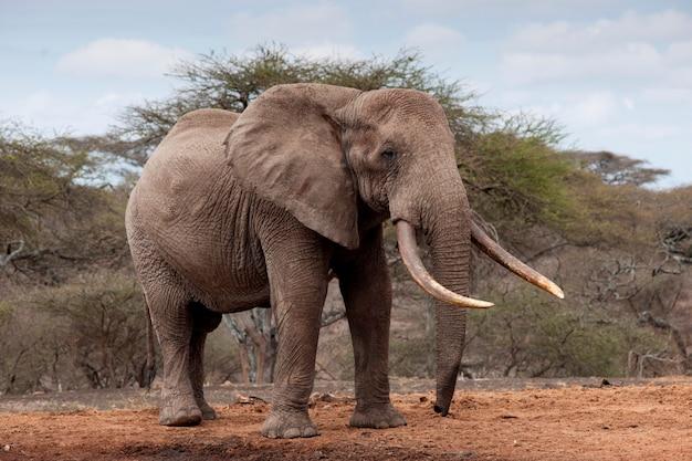 La faune des éléphants au kenya