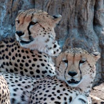 La faune des guépards au kenya