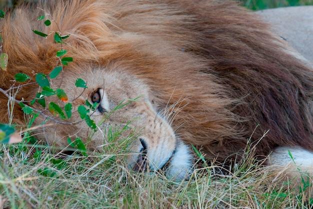 La faune de lion au kenya