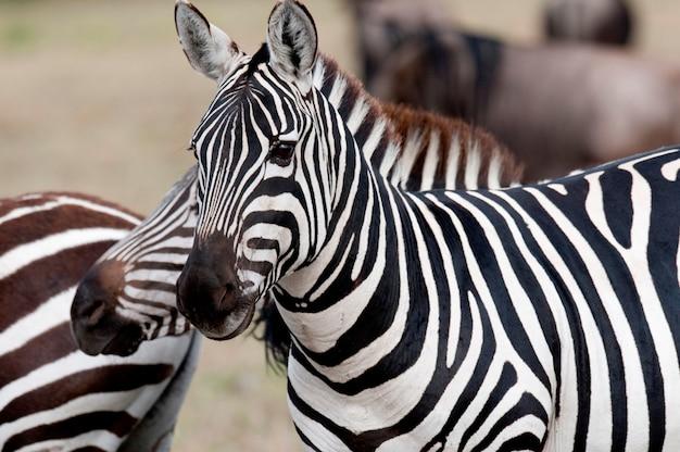 La faune zébrée au kenya