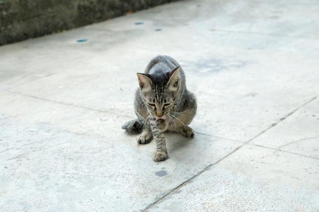 Felis gris mignon ou chats jouant sur le sol