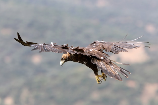 Femelle adulte aigle impérial espagnol volant avec la première lumière du jour dans une forêt méditerranéenne de pins et de chênes