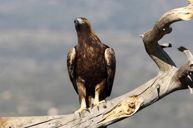 Femelle adulte de l'aigle royal