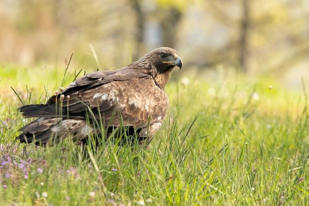Femelle d'aigle royal dans une forêt de chênes aux premières lueurs du jour