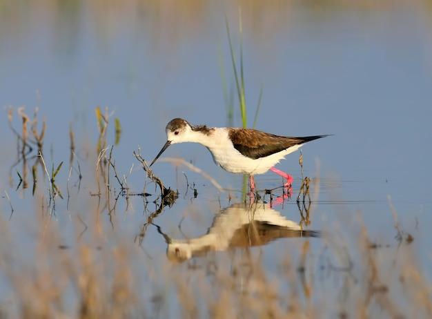 Une femelle échasses ailées noires en plumage nuptial marchant dans l'eau dans son habitat naturel. himantopus himantopus)