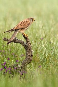 Femelle de faucon crécerelle, faucon, oiseaux, faucon, rapace, falco tinnunculus