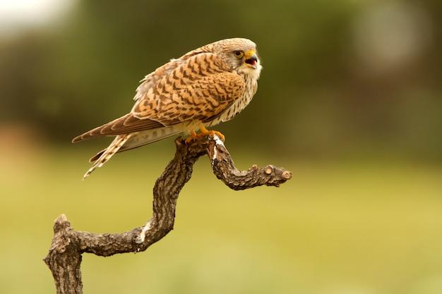 Femelle de faucon crécerellette, faucon, oiseaux, rapace, faucon, falco naunanni