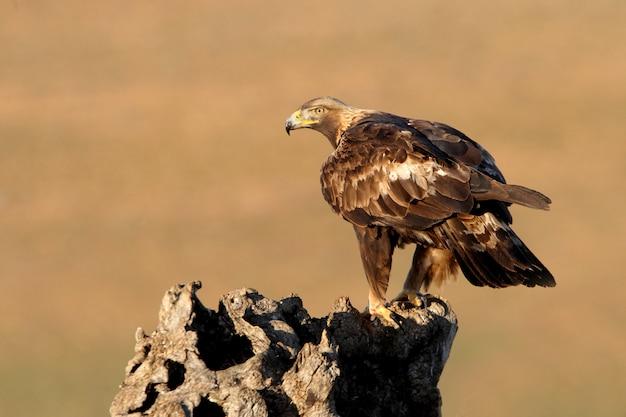 Femelle de golden eagle avec la première lumière du matin, aquila chrysaetos