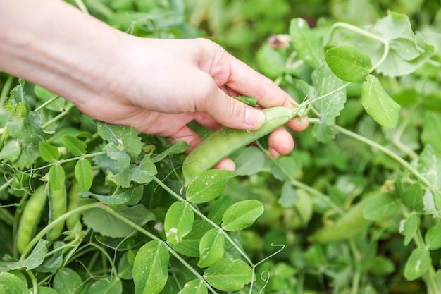 Femelle main récolte des pois biologiques frais verts mûrs sur une branche dans le jardin