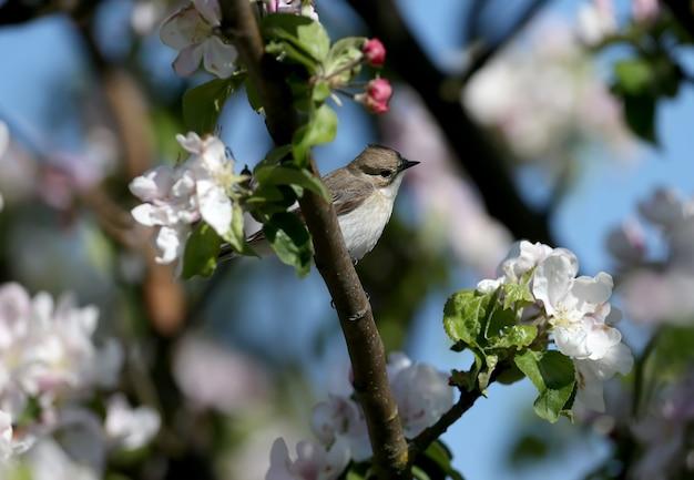 Une femelle moucherolle pie (ficedula hypoleuca) est sur une branche en gros plan dans son habitat naturel.