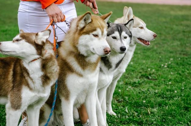 La femme a amené ses chiens de race husky pour une promenade.