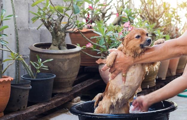 Femme, baigner, chien, poméranie, chien, beau, petit chien