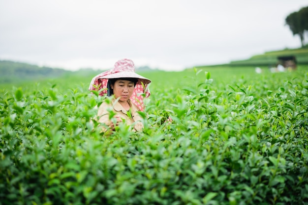 Une femme choisit le thé malgré les grèves en cours à chiang rai, en thaïlande.
