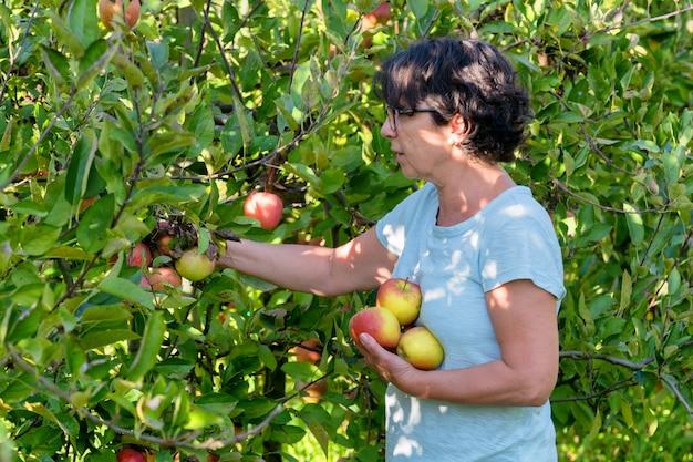 Femme cueillant des pommes dans le verger