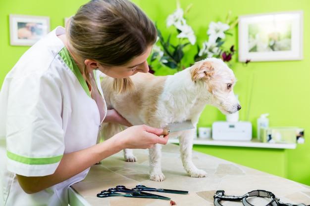 Femme examine un chien aux puces chez un toiletteur