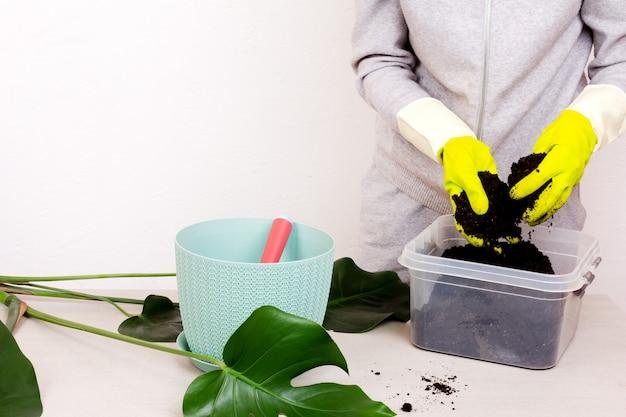 Une femme en gants de caoutchouc prépare le terrain pour planter une fleur de monstera tropicale