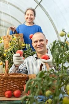 Femme et homme cueillant des tomates