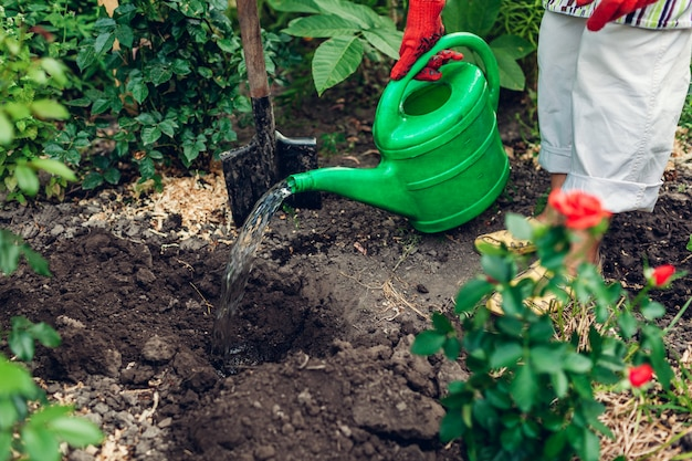 Femme jardinier en train de transplanter des fleurs de roses dans le sol et de les arroser avec un arrosoir.