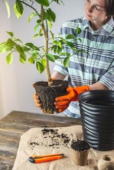 Une femme jardinière en gants transplante un jeune oranger dans le sol d'un petit pot à un grand
