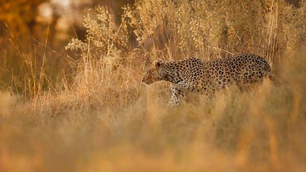 Femme léopard d'afrique pose dans une belle lumière du soir