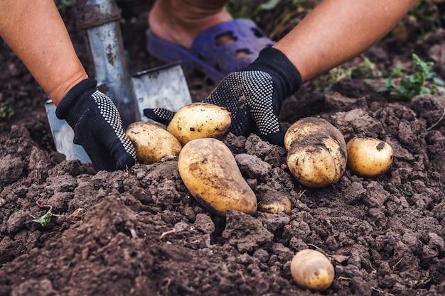 Femme sur un lit à creuser des pommes de terre, récolte de pommes de terre