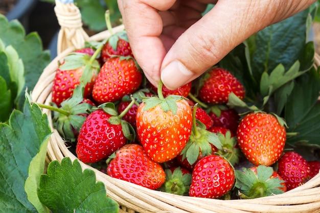 Femme main cueillant une fraise dans un panier.