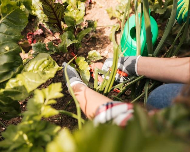 Femme main jardinier élagage de la plante avec un sécateur