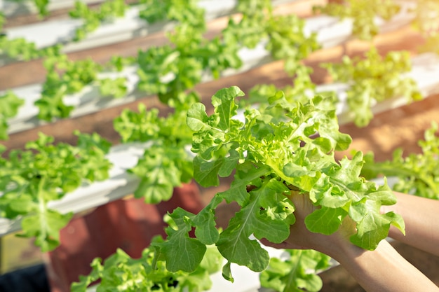 Femme de main de légumes biologiques qui sont récoltés dans des fermes hydroponiques.