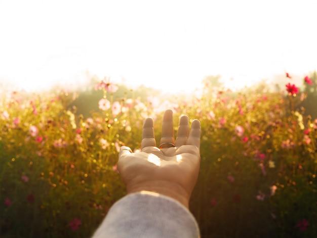 Femme main sur pré de champ de fleurs cosmos le matin.