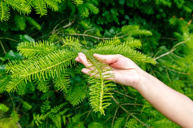Femme main tenant une branche de pin des carpates