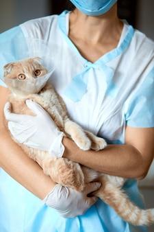 Femme médecin vétérinaire tient sur ses mains un chat avec collier de cône en plastique après castration, concept vétérinaire.