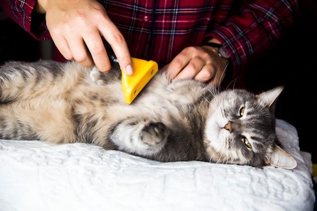 Une femme peigne son chat gris avec une torche pour se débarrasser de l'excès de laine. prendre soin des animaux