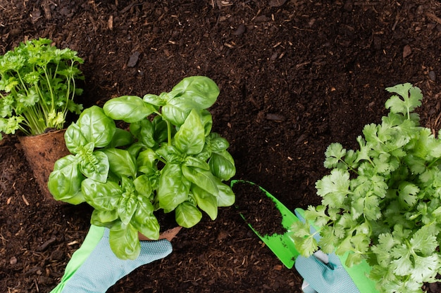 Femme plantant de jeunes plants de salade de laitue dans le potager